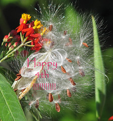 have a sparkly & safe 4th !!! (Vicki's Nature) Tags: milkweed seedpods fireworks 4thofjuly flowers red yellow seeds white yard georgia vickisnature canon s5 0550