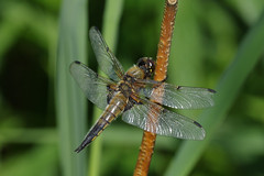 IMGP2555c Four-spotted Chaser, Wicken Fen, June 2017 (bobchappell55) Tags: wickenfen nationaltrust naturereserve nature wild wildlife fourspottedchaser dragonfly