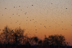 Murmuration-11 (Odd Wellies) Tags: hamwall murmuration starlings