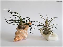 (2549) Tillandsia Bulbosa & Tillandsia Pruinosa (QuimG) Tags: tillandsiabulbosa tillandsiapruinosa tillandsias natura nature naturaleza quimg quimgranell joaquimgranell