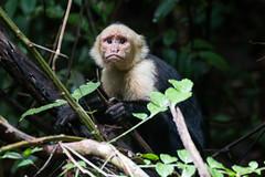 Capucin - (1) - Costa Rica
