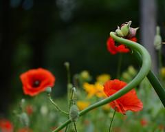 DSC_1371a (Fransois) Tags: pavots poppies fleurs flowers bokeh granby québec