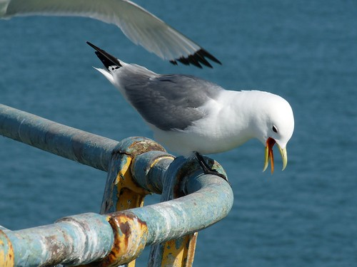 22042 - Kittiwakes on Mumbles Pier