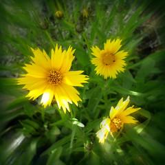 ESTALLIDO DE COLOR (MARISA1005) Tags: primavera flor amarillo top20colorpix mywinners ysplix