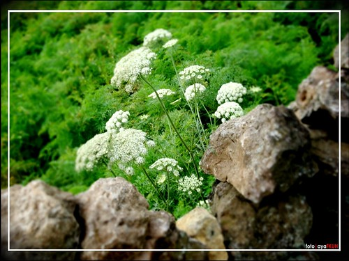 a little white flowers..