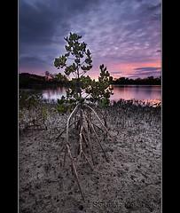 Mangroves - The Amazing Trees (danishpm) Tags: clouds sunrise canon sand australia wideangle mangrove swamp nsw aussie aus 1020mm manfrotto sigmalens eos450d fingalheads 450d tweedshire dragondaggerphoto dragondaggeraward sorenmartensen hitechgradfilters 09ndreversegrad