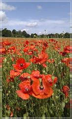 Poppy field #1 (stephen.darlington) Tags: red surrey poppy remembrance farncombe binscombe poppyfield