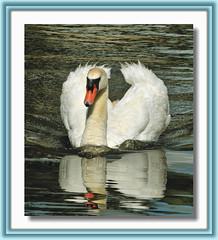 King Of The Pond...Full Speed Ahead (Vidterry) Tags: swan cob muteswan flickrsilver flickrgold flickrbronze maleswan kingofthepond muteswancob yourarthastouchedtheworld universalelite andromeda50 cedarmemorialpark dsc92845