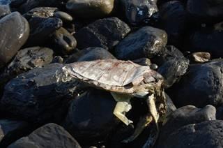 阿朗壹海灘上海龜的遺體,具豐富的生命相的海灘。
