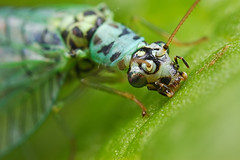 Green Lacewing Portrait 3 (steb1) Tags: macro nature closeup insect neuroptera greenlacewing chrysopidae chrysopaperla