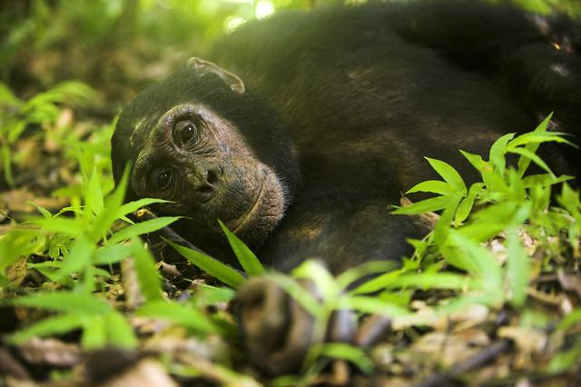 Greystoke Mahale chimp - MICHAEL POLIZA