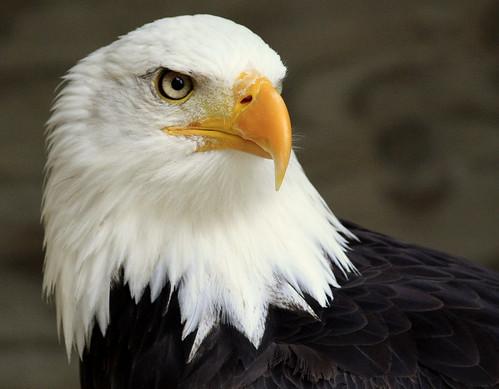 عکس شاهین عقاب
