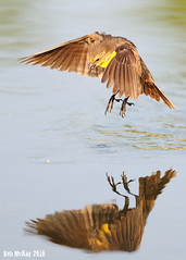 Yellow-Headed Black Birds Catching Bugs (Rob McKay Photography) Tags: food calgary water birds flying inflight wings photographer mckay feeding flight young insects surface bugs rob catching immature blackbirds yellowheadedblackbirds wwwbokehensteincom wwwrobmckayphotographycom bokehensteincom robmckayphotographycom