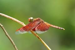 Micro_2010-07-03_070 (kamaruld) Tags: wild macro animal closeup naughty insect flying wings eyes dof dragonfly micro tweak nikkor odonata naturalhabitat 105mm