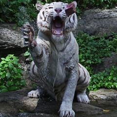 (Gary Wilson แกรี่ วิลสัน) Tags: nature animal canon photography eos zoo photo singapore foto wildlife tiger bigcat panther bengal tigris whitetiger singaporezoo bengaltiger 100400l garywilson 5dmkii
