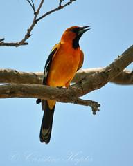Bullock's Oriole  (male) (Christine Kapler / PASSED AWAY) Tags: birds costarica baltimoreoriole oriole guanacaste allrightsreserved nikond300 sigma150500