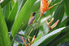 Olive-backed sunbird (male) (Cinnyris jugularis)