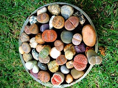 My First Lithop Collection (muzaffarcactus1) Tags: first collection lithop my