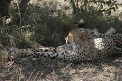 _MG_0366 (sian_meades) Tags: kenya safari giraffes elephants hippos cheetahs masaimara babycheetahs