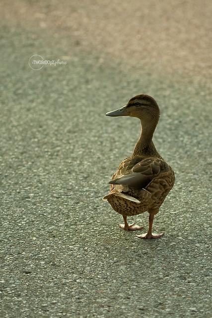 quack! day 187 (2nd last)