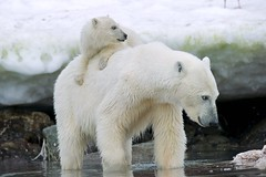 Mother polar bear and cub (KEENPRESS) Tags: animal mammal photography day wildlife polarbear bearcub twoanimals animalfamily animalthemes animalinthewild