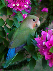 Peach Faced Love Bird. . . almost all grown up! (irinsmith) Tags: lovebird phoenixarizona parrott naturesfinest peachfacelovebird irinsmith thewonderfulworldofbirds mothernaturesgreenearth z981 kodakeasysharez981 kodakz981
