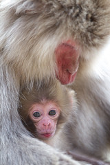 Curiosity (Masashi Mochida) Tags: baby snow japan monkey mother nagano jigokudani coth supershot impressedbeauty rubyphotographer