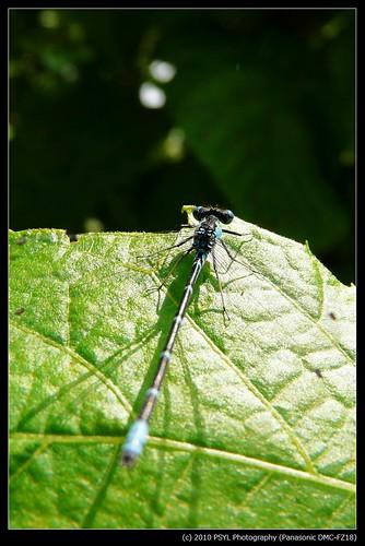 Unidentified Spreadwing (Lestes spp)