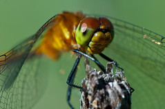 Dragonfly: Headshot (mbaglole) Tags: park ontario macro fly nikon dragon natural dragonfly kitchener micro area nikkor huron afs 105mm mywinners macrolife