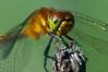 Dragonfly: Headshot (mbaglole) Tags: park ontario macro fly nikon dragon natural dragonfly kitchener micro area nikkor huron afs 105mm mywinners macrolife