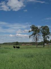 Cows Grazing - First Nature Farm, Alberta