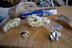 prepping the skull for casting