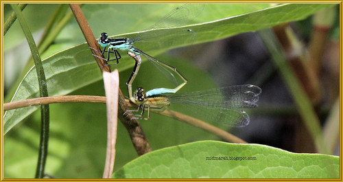 Pair of Blue-tailed Damselflies