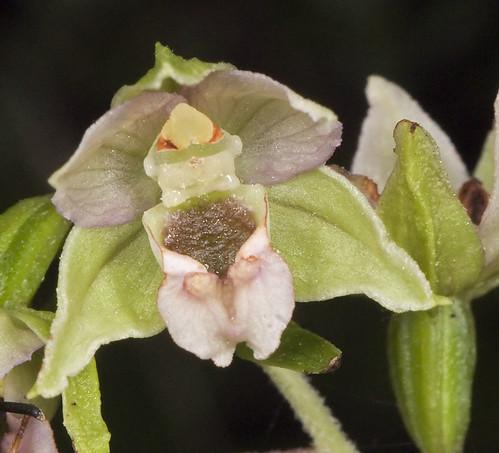 Pollinisateur orchidées 4787062658_d75d0a4eed