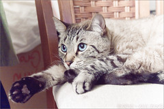 maomao. (Alli Jiang) Tags: pet cute love beautiful animal cat canon fur photography eos 350d paw furry chair feline blueeyes pad kitty ears indoor cutie meow resting lovely lying pur maomao mew miaow purrr restingcat allijiang