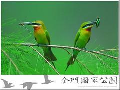 栗喉蜂虎(風中之舞)-01