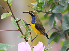 Olive-backed Sunbird (Cinnyris jugularis plateni) (macronyx) Tags: bird nature birds indonesia wildlife birding aves sulawesi sunbird olivebackedsunbird cinnyrisjugularis cinnyris cinnyrisjugularisplateni