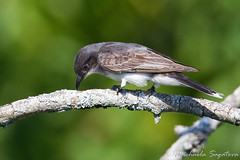 Eastern Kingbird (~ Michaela Sagatova ~) Tags: bird nature flycatcher easternkingbird tyrannustyrannus michaelasagatova