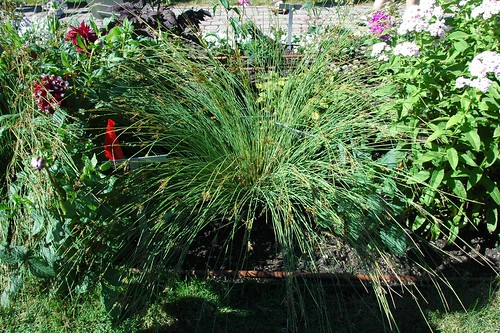 Juncus 'Blue Arrow'
