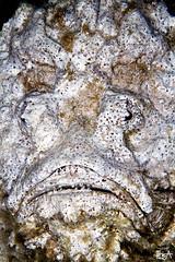 Mr. Untouchable (Lea's UW Photography) Tags: underwater redsea fins stonefish unterwasser steinfisch canon100mm canon7d leamoser