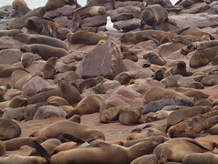 A stranger among us (Gusjer) Tags: africa seagull seal namibia capecross