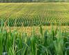 Corn field by fishhawk, on Flickr