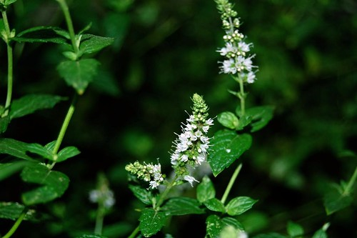 Spearmint Flowers