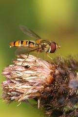 Episyrphus balteatus - Snorzweefvlieg (henk.wallays) Tags: nature closeup garden insect fly belgium wildlife flies hoover marmalade hoverfly mouche syrphidae diptera vlieg vliegen zweefvlieg episyrphus balteatus snorzweefvlieg dioctria