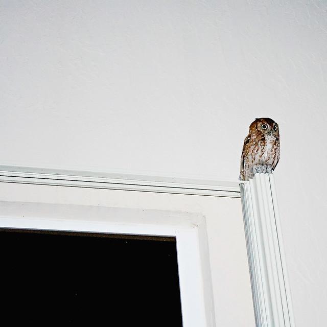 Dobby owl