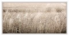 just like a million lights... (Iro {Ivy style33}) Tags: sunlight nature sunshine afternoon grain seeds summerlove warmtones cinemalike photographythroughivyseyes justlikeamillionlights