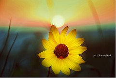 horizon (NESIHO) Tags: eve usa flower love yellow gun florida sari gunes kurdistan ufuk kurdish kurd roj bocagrande rojava cicek gunbatimi zer bitlis hizan mexicogulf axkis nesiho kulilk kurdishphotographer lovewithsunset