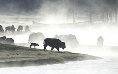 bison and baby in fog (Steve Courson) Tags: fog bison ynp stevecourson yellowstone2010
