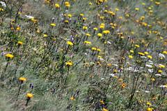 wildflowers 082