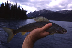 Grayling (Fish as art) Tags: lake fish canada mountains paul fishing britishcolumbia north ombre adventure yukon flyfishing fishes biology zoology angeln wildnis fishingcanada arcticgrayling spinfishing vecsei oligotrophic fishingincanada coregonids northernfishes paulvecseiphotography